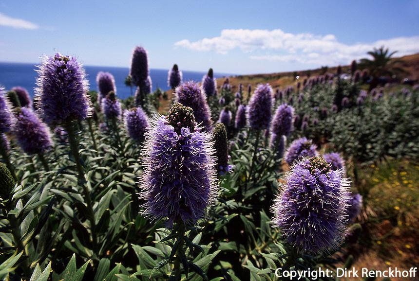 Portugal, Madeira, Bluete des Natternkopf (endemisch auf Madeira)