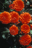 Dahlia Ellen Huston aka Ellen Houston orange flowers and dark leaves