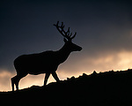 wapiti, American elk, Cervus elaphus, Trail Ridge, Rocky Mountain National Park, Colorado