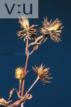 Begger Tick seeds or achenes disperse by sticking to clothes and animal fur ,Bidens vulgata,.