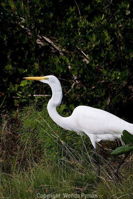 The Great Egret stalks his prey.