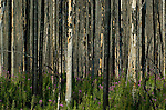 Photograph of the burnt and charred trees and the regrowth years after a forest fire in the Kootenay National Park, British Columbia, Canada.