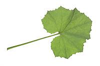 Huflattich-Blatt, Huflattich, Tussilago farfara, Coltsfoot, Pas d´âne, Tussilage. Blatt, Blätter, leaf, leaves, Blattunterseite