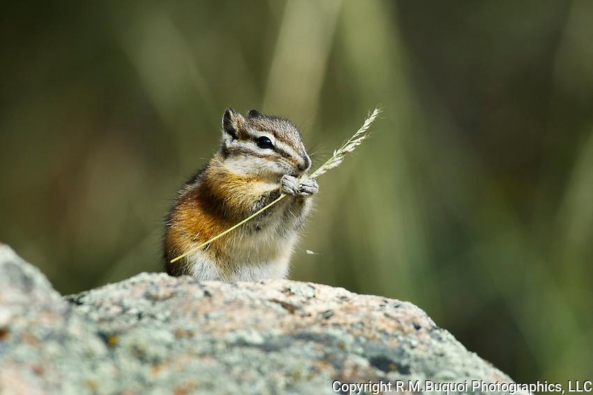 Chipmunk eating grass seed