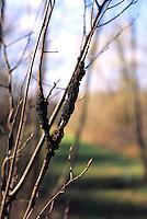 PLANTS<br /> Black Knot Canker<br /> Dibotryon morbosum, Huntington, NY