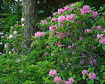 Olympic National Forest, WA<br /> Pacific rhododendron (R. macropyllum) state flower of Washington in an old growth fir/hemlock forest on Mt. Townsend