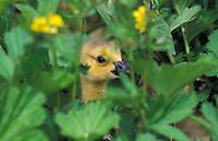 Canada Goose gosling hides while resting. Spring. British Columbia, Canada. (Branta canadensis).