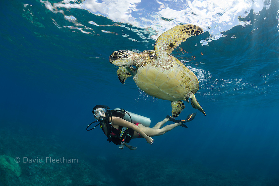 Green sea turtle, Chelonia mydas, and diver (MR).  Hawaii.