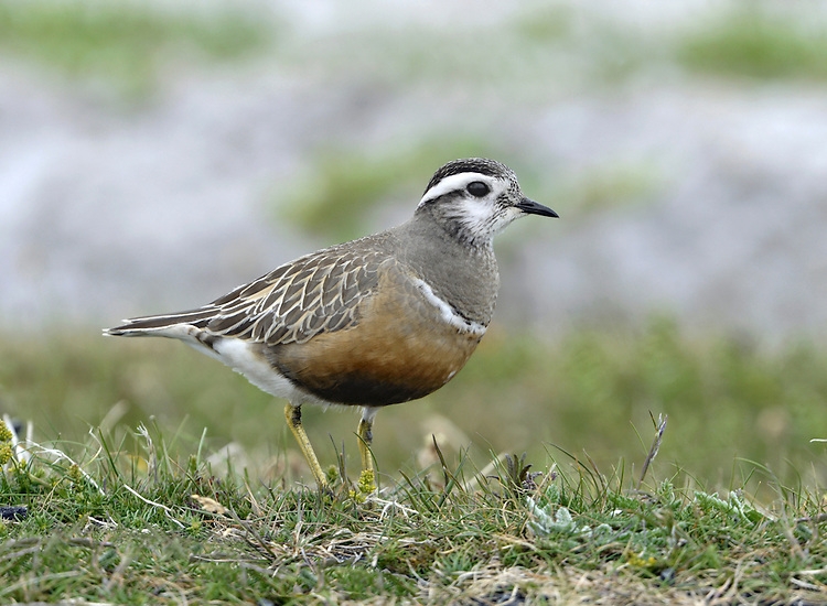 Dotterel Charadrius morinellus L 22cm. Beautiful and tame, pot-bellied mountain wader. Role-reversal seen when nesting: duller male incubates eggs. Adult female in summer has reddish orange breast and belly, black-bordered white collar, and blue-grey throat. Face is whitish and has white supercilium and dark cap; upperparts otherwise grey-brown, back feathers with brown margins. Legs are yellow. Adult male in summer is duller. Winter adult is grey buff with broad, pale buff supercilium and pale breast band. Juvenile is similar to winter adult but with scaly-looking back. Voice Utters a soft pierrr call. Status Rare migrant visitor, mainly to Scottish Highlands. Migrants linger briefly at traditional hilltops staging posts in England, or on coasts.