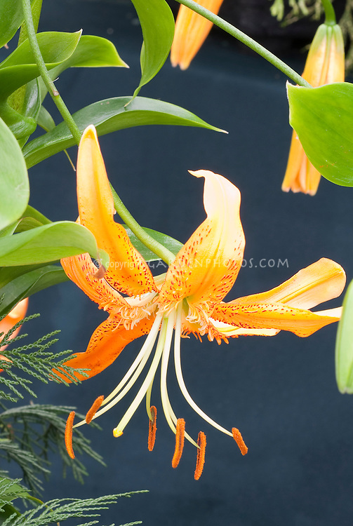 Lilium henryi Lily species, Henry's Lily