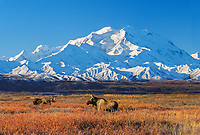 20, 3020+ Ft. Mt. Denali, Bull And Cow Moose In Autumn Tundra Grasses, Denali National Park, Alaska