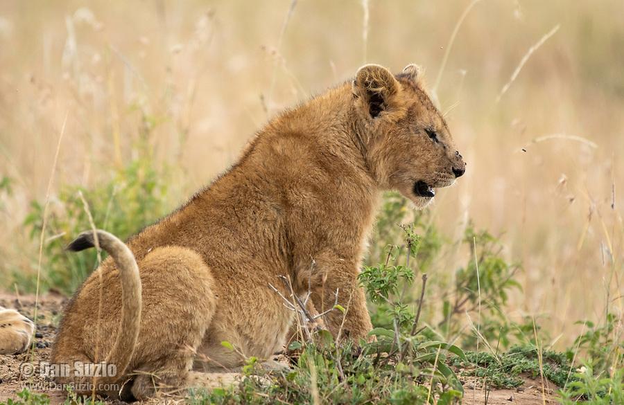 Lion cub, Panthera leo  melanochaita, in Maasai Mara National Reserve, Kenya