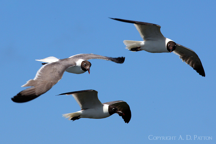 Adult laughing gulls waiting for a handout