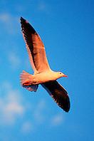 western gull, adult, .Larus occidentalis, .San Diego, California