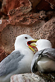 Black-legged kittiwake (Rissa tridactyla) Feeding Partner on the nest. An established breeding pair make certain that one of the pair remains on nest duty to guard fom Predators. So returning to feed a partner is common, or to relieve them to go fishing or foraging for themselves. Newly paired Kittiwakes are not so organised and tend to loose their young to predation.