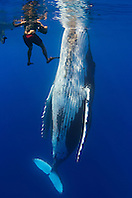 Underwater videographer and humpback whale, Megaptera novaeangliae, Pacific Ocean
