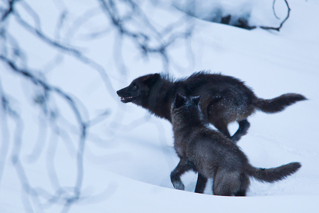 Two wolves from the Bow Valley wolf family are seen here on an early winter morning in 2012, in Banff National Park, Alberta Canada. The two are pups from last year's litter and are nearly one year old.  Photo by Gus Curtis.