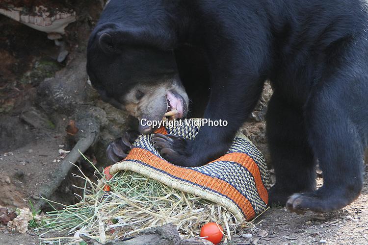 Foto: VidiPhoto..ARNHEM - Een Paasverrassing voor de Maleise beren in Burgers' Zoo in Arnhem. De dieren kregen vrijdag een mandje met allerlei lekkers. In een mum van tijd was de Paasverrassing geplunderd en leeg..