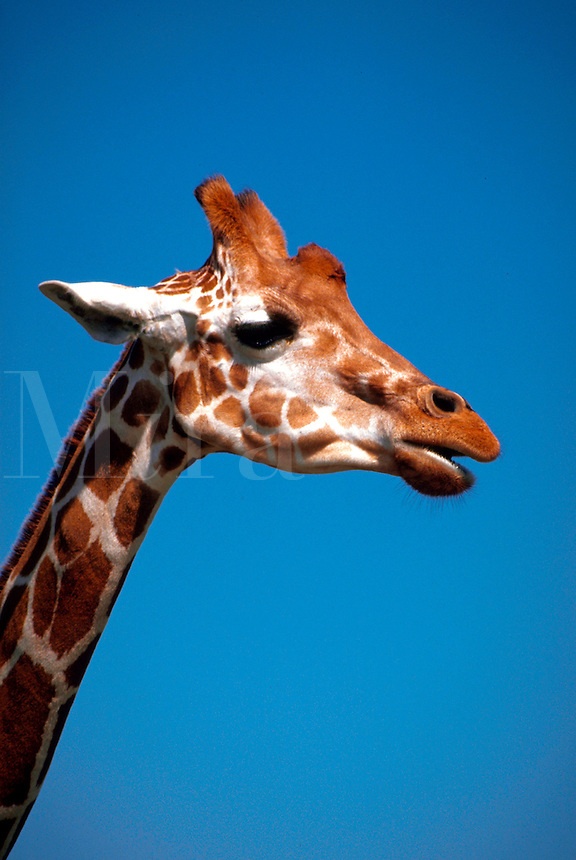 Vertical image portrait of the tallest mammal and biggest ruminant - a caotive Giraffe (giraffa camelopardalis) against a clear blue sky - Lion Country Safari - Florida.