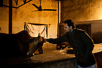 Minister of Legislative Assembly, Ritesh Pandey, 30, unwinds as he pets a cow in his father's cowshed at home after campaigning late into the night in Jalalpur constituency in Uttar Pradesh, India, on 20th January, 2012. Returning 1.5 years ago after almost 10 years abroad, Pandey is contesting on behalf of the Bahujan Samaj Party (BSP), a party that is based on its appeal to Dalit (the lowest Hindu caste) voters. Party leader, Mayawati herself is a Dalit but has recently been giving out more tickets to muslims and high caste candidates in an attempt to woo a larger spectrum of voters in Uttar Pradesh, a Bellwether state. Photo by Suzanne Lee for The National (online byline: Photo by Szu for The National)