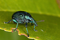 Rebenstecher, Zigarrenwickler, Rebstecher, Rebstichler, Reben-Stecher, Zigarren-Wickler, Wickler, Byctiscus betulae, hazel leaf roller weevil