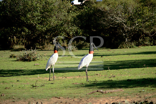 Pantanal, Mato Grosso State, Brazil; Jabiru storks, large birds with white bodies, red necks, black heads and large beaks.