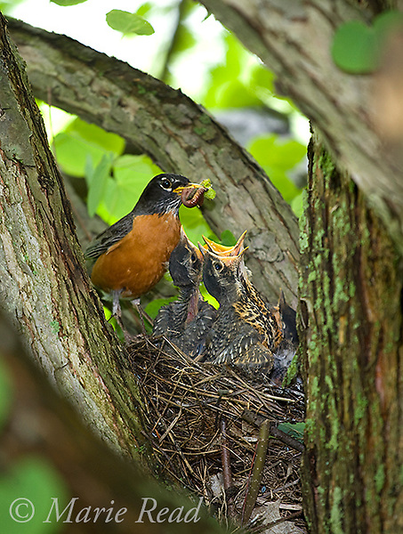 American Robin (Turdus migratorius) adult bringing food (earthworms) to nestlings in nest, New York, USA