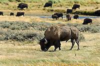 Grazing Buffalo, Yellowstone National Park