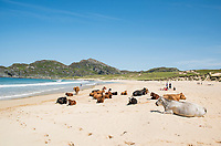 Cows on the beach on the island of Colonsay, Scotland, Great Britain