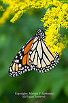 Monarch Butterfly, Danaus plexippus, feeding on goldenrod