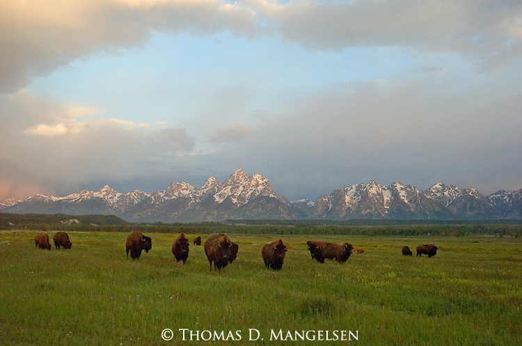 A herd of Bison gather in a field below the Teton Mountain Range in Grand Teton National Park.