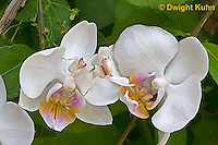 "1M24-505z  Malaysian Orchid Mantis Camouflaged on Orchid Flower - Hymenopus coronatus ""Nymph"" - © Dwight Kuhn Photography"