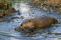 American Beaver (Castor Canadensis) pushing mud it has dug while digging a canal between pond and the trees it hopes to cut for winter food. Might also look at image # MT525 of beaver using a canal it has dug.
