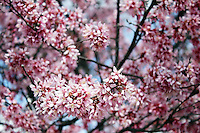 Stock photo - Mesh of interlaced pink cherry blossom branches in America.