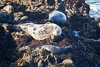 Chastened, the juvenile harbor seal settles into the rocky outcrop, a safe and respectable distance from the adult who taught it the importance of distance.