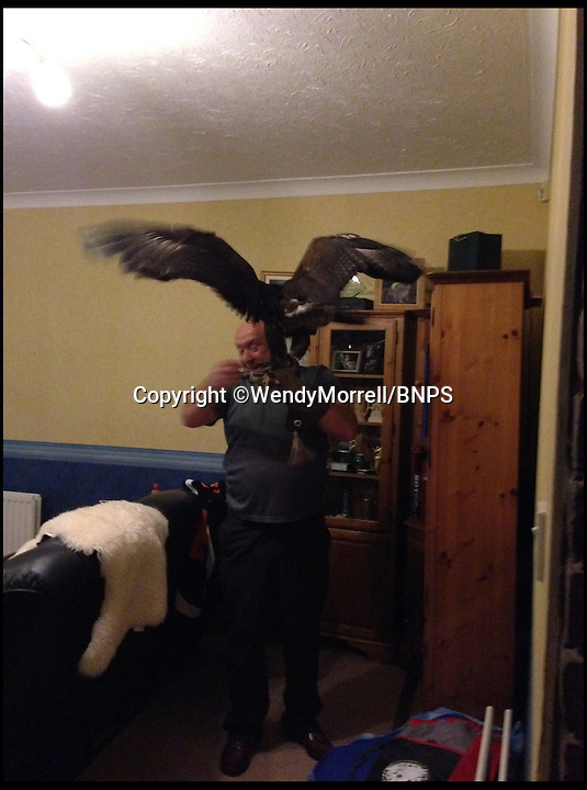 BNPS.co.uk (01202 558833)<br /> Pic: WendyMorrell/BNPS<br /> <br /> ***Please use full byline***<br /> <br /> Jon Ball from Wessex Bird of Prey Rescue coaxes the bird down.<br /> <br /> A woman was startled when a huge eagle swooped into her front room and landed on a cabinet while she was watching TV.<br /> <br /> Wendy Morrell couldn't believe her eyes when the 18ins tall bird of prey flew through open patio doors and into her lounge in Poole, Dorset, yesterday.<br /> <br /> The bird, a Russian Steppe eagle, knocked over ornaments with its 4ft wings as it landed on a wooden glass cabinet before pecking at a bowl of pot pourri.<br /> <br /> Wendy and friend Karen Ruddlesden tried to tempt the eagle outside using pieces of ham but when their attempts failed they phoned a local bird of prey rescue centre.<br /> <br /> After 30 minutes of trying the eagle was eventually lured down off its makeshift perch using a dead chick.<br /> <br /> It was revealed later that the young bird was called Storm and was being trained up to ward off seagulls at a nearby landfill site.<br /> <br /> It had been reported missing by owner James Moore three days prior to turning up at Wendy's house after it broke its tethers.