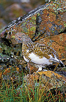 Rock Ptarmigan - female.  Early Autumn colors. Camouflage against rock lichen. Denali National Park, Alaska. Lagopus mutus..