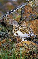 Rock Ptarmigan - female.  Early Autumn colors. Camouflage against rock lichen. Denali National Park, Alaska. Lagopus mutus..