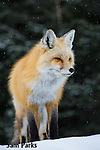 Red fox in winter. Grand Teton National Park, Wyoming.