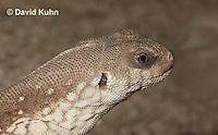 0611-1007  Desert Iguana (Mojave Desert), Detail of Head, Dipsosaurus dorsalis  © David Kuhn/Dwight Kuhn Photography
