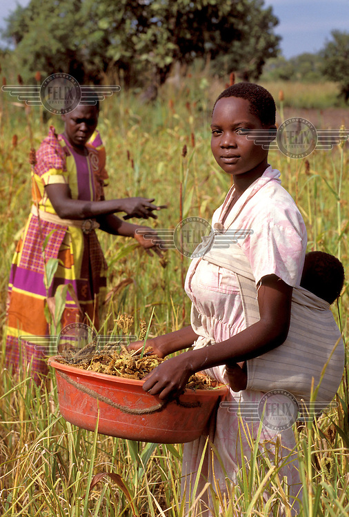 © Caroline Penn / Panos Pictures..Near Soroti, UGANDA. 07/1999..16 year old girl picking millet in the village of Dokoro with her 3 month old baby on her back.