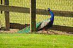 Walnut Run Farm. Peacock