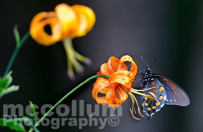 Michael McCollum<br /> 8/1/17<br /> 'Astyanax' Red-spotted Purple Limenitis arthemis astyanax, on a <br /> Turk&rsquo;s Cap Lily near the<br /> Great Smoky Mountain Parkway, North Carolina.