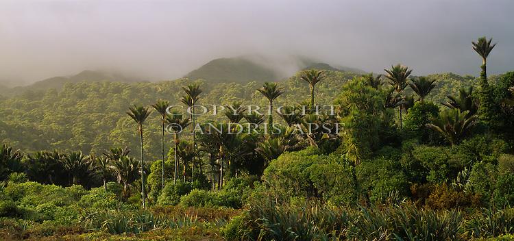 Nikau Palms in Kahurangi National Park. Tasman Region. New Zealand.