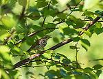 Ovenbird perched in speckled alder in northern Wisconsin.