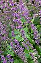 Salvia verticillata 'Purple Rain', early August.