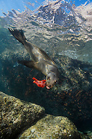 QT0609-D. California Sea Lion (Zalophus californianus) playing with sea star. Baja, Mexico, Sea of Cortez, Pacific Ocean.<br /> Photo Copyright &copy; Brandon Cole. All rights reserved worldwide.  www.brandoncole.com