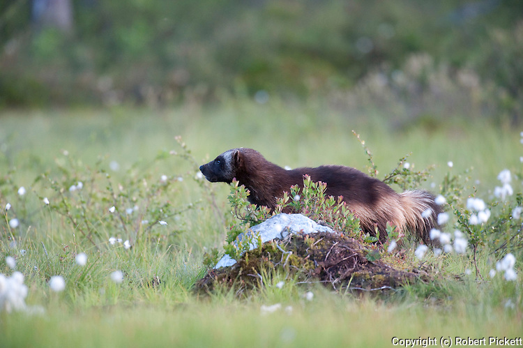 Wolverine, Gulo gulo, Kuhmo, Finland, Lentiira, Vartius near Russian Border, walking across marshland grass, glutton, carcajou, skunk bear, or quickhatch, is the largest land-dwelling species of the family Mustelidae,