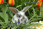 Kim, EASTER, OSTERN, PASCUA, photos,+Young rabbit among Spring flowers.,++++,GBJBWP41620,#e#
