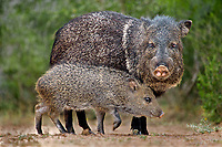650520296 wild javelinas or collared peccaries dicolytes tajacu forage near a waterhole on santa clara ranch in starr county rio grande valley texas united states